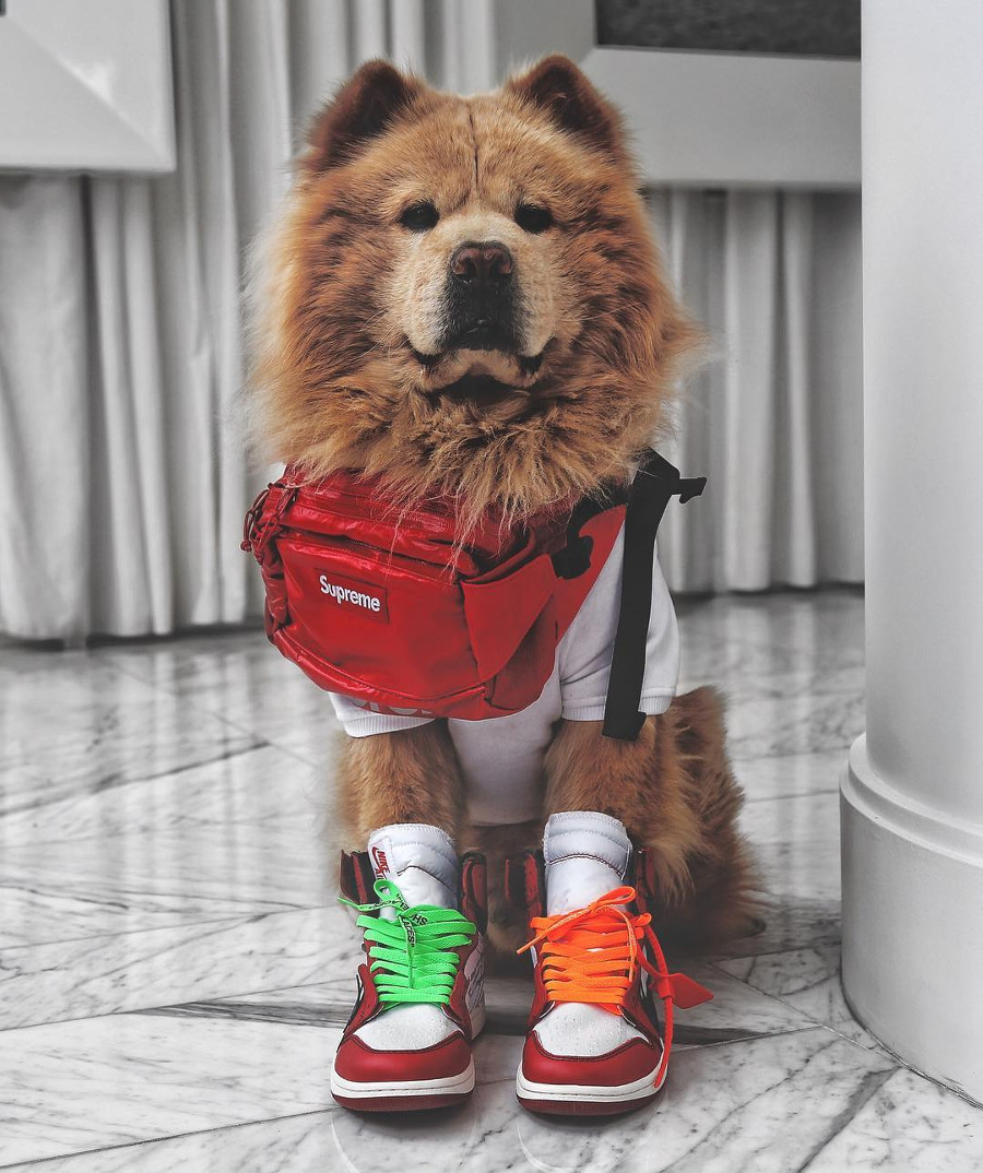 chien en saccoche supreme et air jordan 1 high off white halfbearhalfamazing